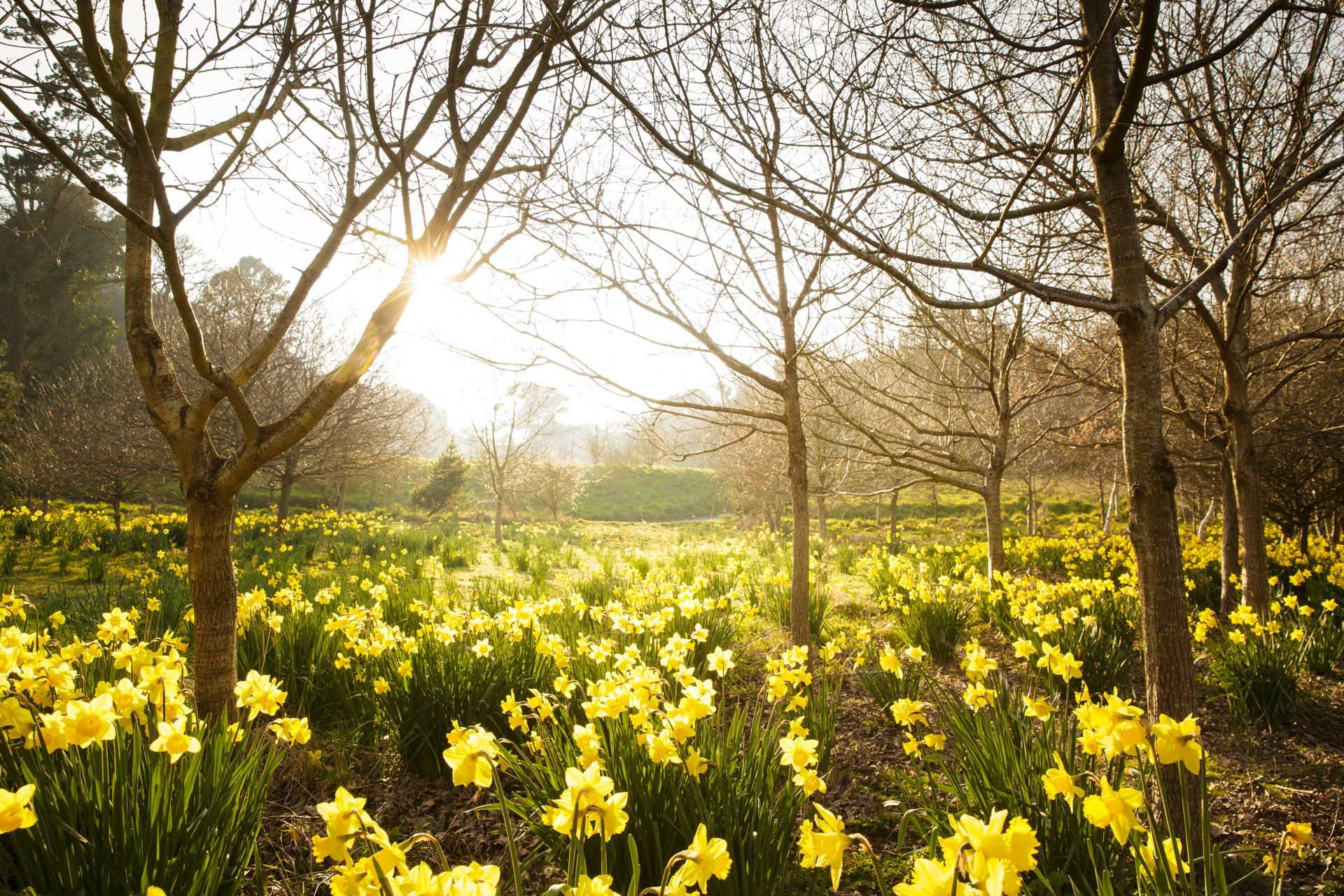 A maze of daffodils in a woodland area at St Catherine's