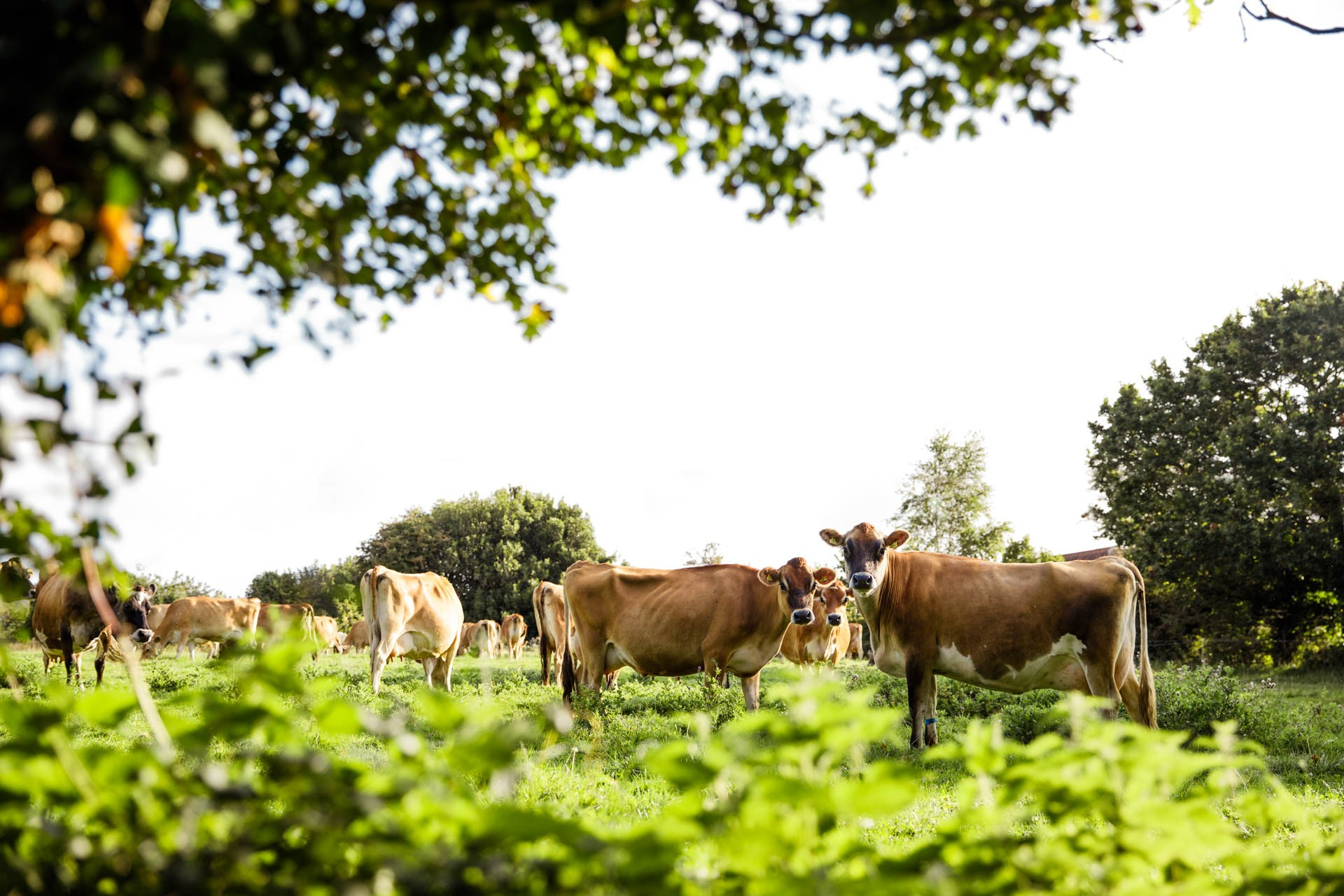 Jersey cows in a field in Jersey
